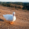 Royalty-Free Stock Photo: White goose is going at road