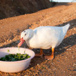 White goose is eating on road — Stock Photo