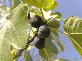 The black figs on the branch — Stock Photo