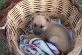 Puppy in the basket — Stock Photo