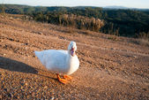 White goose is going at road — Stock Photo