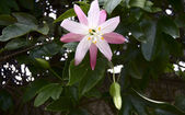 Pink Passionflower — Stock Photo