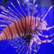 Stock Photo: Lion fish