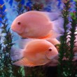 Pink fish — Stock Photo #1009281