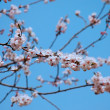 sakura branch — Stock Photo