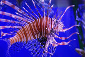 Lion fish — Stock Photo