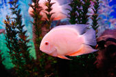 Beautiful pink fish — Stock Photo