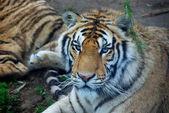Big tiger — Stock Photo