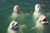 Baleines blanches — Photo