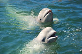 Baleias brancas — Foto Stock