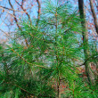 Branch of pine — Stock Photo