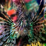 Beautiful lion fish — Stock Photo #1010133