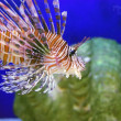 Beautiful lion fish — Stock Photo #1010813