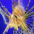 Beautiful lion fish — Stock Photo #1010849