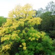 Stock Photo: First yellow tree of autumn