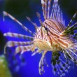 Lion fish — Stock Photo #1012269