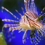 Lion fish — Stock Photo #1012269
