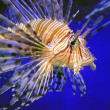 Lion fish — Stock Photo #1012289