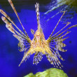 Lion fish — Stock Photo #1012294