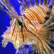 Lion fish — Stock Photo #1012370