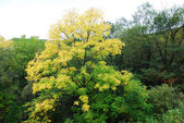 First yellow tree of autumn — Stock Photo