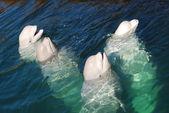 White whale — Stock Photo