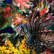 Beautiful lion fish — Stock Photo