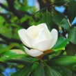 Beautiful magnolia — Stock Photo