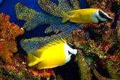 Yellow fish — Stock Photo
