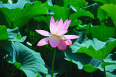 Beautiful lotus — Stock Photo