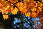 Maple leaves — Stockfoto