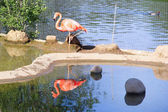 Flamingo in open-air cage in the Zoo — Stock Photo