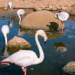 Graceful flamingos in a pond — Stock Photo