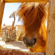 Stock Photo: Red pony