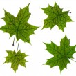 Stock Photo: Green maple