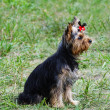 Royalty-Free Stock Photo: Yorkshire terrier on green grass