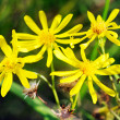 Yellow wild flowers — Stock Photo