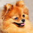Pomeranian dog portrait — Stock Photo