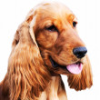 Stock Photo: Setter dog portrait
