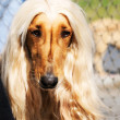 Afghan dog portrait — Stock Photo #1119750
