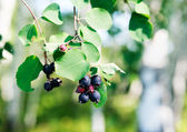 Berry branch over blurry background — Zdjęcie stockowe