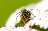 Dwa chrząszczy — Zdjęcie stockowe