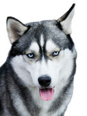 Husky dog portrait over white — Stock Photo