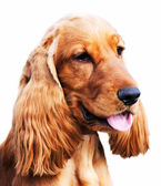 Setter dog portrait — Stock Photo