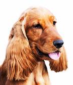 Setter dog portrait — Stock Photo