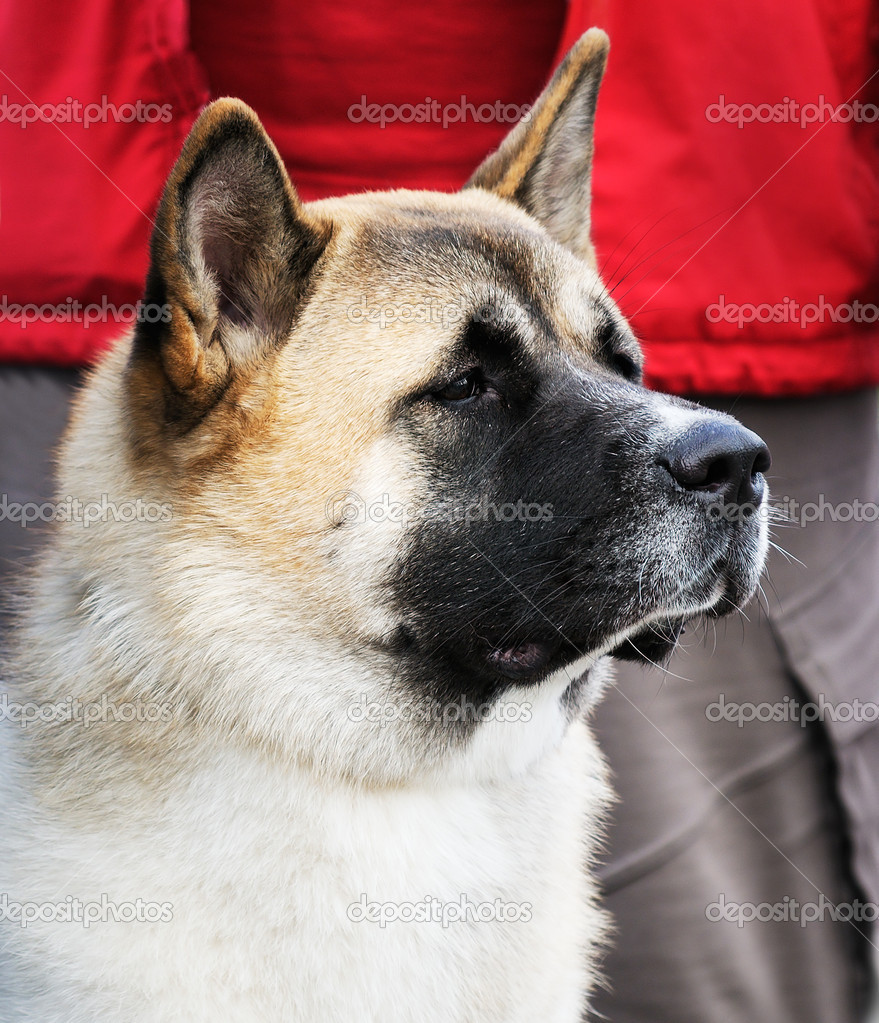 Japanese Akita Dog For Sale Philippines
