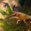 Royalty-Free Stock Photo: Crayfish