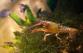 Crayfish — Stock Photo