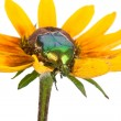 Beetle on yellow flower — Stock Photo