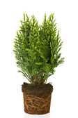 Small thuja in a pot — Stock Photo